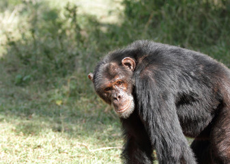 A Chimpanzee looking to the camera, Ol Pejeta Conservancy