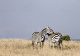 A pair of beautiful courting Zebras