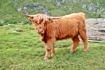 Junger Wilder: Schottischer Hochlandbulle auf Schweizer Alm