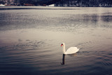 Swan on winter lake