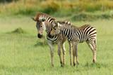 Zwei Zebrafohlen bregrüßen sich