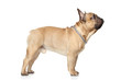 French Bulldog profile