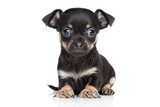Chihuahua and toy terrier mixed-breed puppy