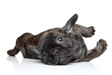 French bulldog puppy resting