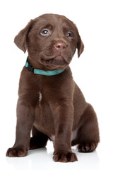 Brown Labrador puppy