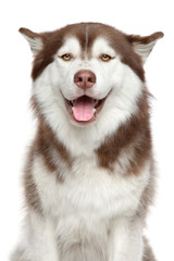 Happy Siberian Husky