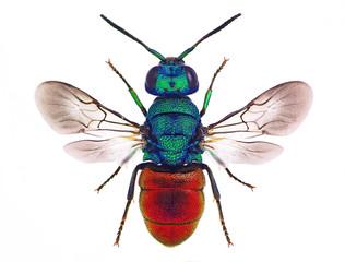 Amazing cuckoo wasp Holopyga punctatissima
