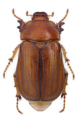 Female of june beetle (Amphimallon vernale)