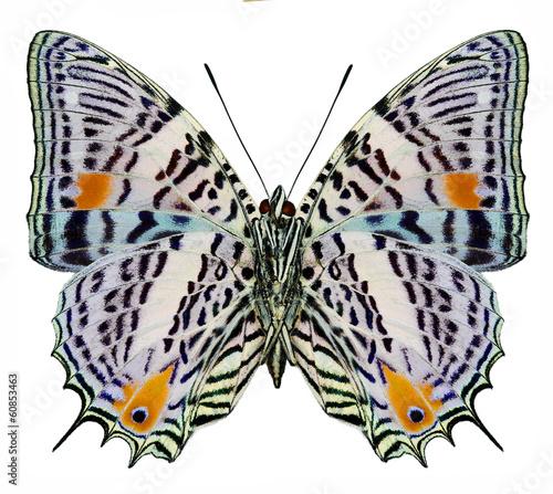 South America butterfly Baeotus aeilus (underside)