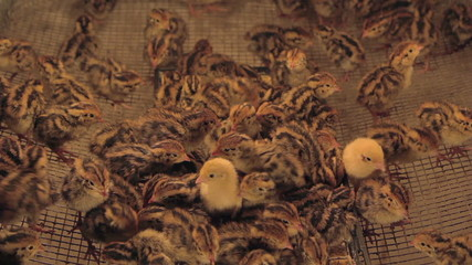 Crowded cage of quail chicks.