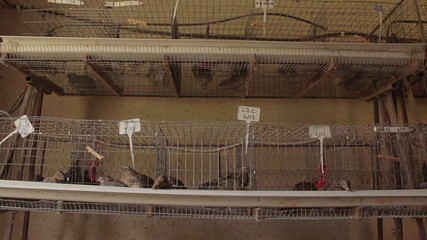 Tilt shot of battery farmed quail in their cages.