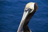 head of the pelican on water background