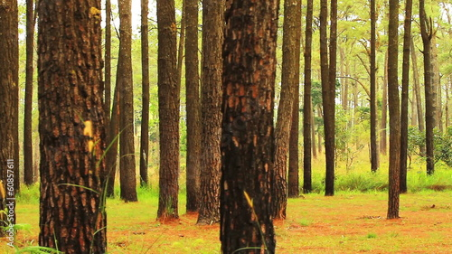 Pine forests in the tropical forests of Thailand. : Dolly shot