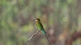 Blue Tailed Bee Eater 02