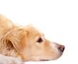 Hundekopf im Profil