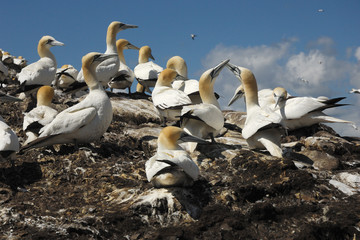 gannet Sula bassana colony nest nido colonia in volo flight peli