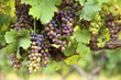 Colorful red wine grapes on vine in vineyard