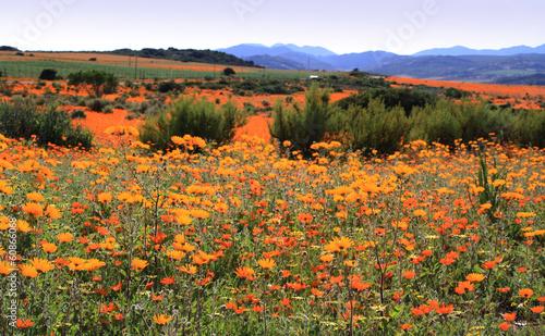 Fotobehang Zuid Afrika Daisies in Namaqualand