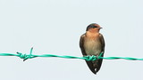 Swallow On Fence Wire 03