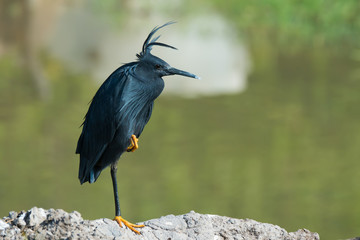 Black Egret (Egretta ardesiaca) with punk hair style