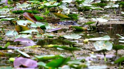 Alligator in Everglades NP,USA