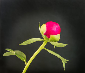 Red budding Peony against a dark background