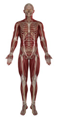 Man muscles with skeleton  anatomy isolated