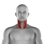 Sternocleidomastoid male muscles anatomy anterior view isolated poster