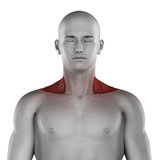 Trapezius male muscles anatomy anterior view isolated poster