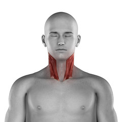 Sternocleidomastoid male muscles anatomy anterior view isolated