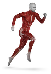 Runner muscle anatomy isolated