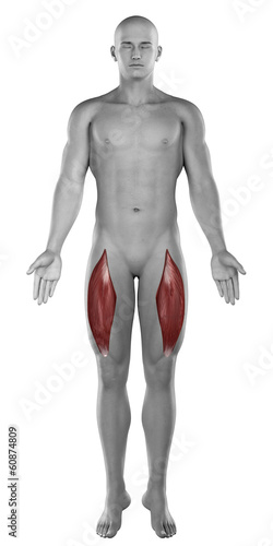 Rectus femoris male muscles anatomy anterior view isolated