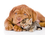 Bordeaux puppy dog playing with  bengal kitten. isolated  - Fine Art prints