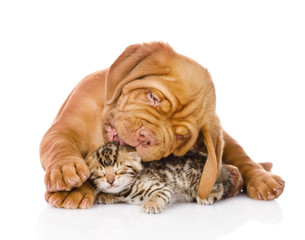 Bordeaux puppy dog licking bengal kitten. isolated on white