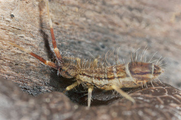 Springtail, Collembola on wood, extreme close-up