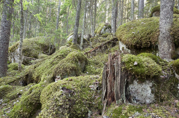 Untouched primeval forest, Sweden