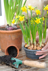 pot of narcissus