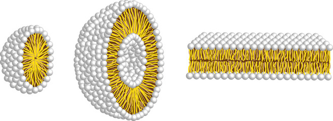 micelle,liposome and double membrane