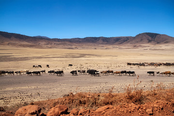Cow cattle driven by Maasai people to drink water