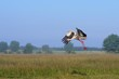 White stork (Ciconia ciconia), the region Ponidzie, Poland
