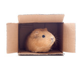 cavy in a box