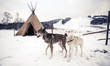 Leinwandbild Motiv Husky dogs, Central Finland