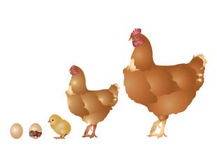 Life of hen