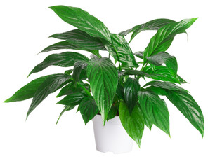 "flowerpot ""Spathiphyllum wallisii"" isolated on white background"