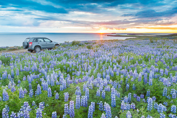 A 4WD car parked in a lupins field next to the atlantic coast lo