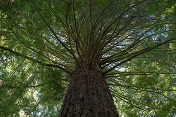 A mighty redwood tree with multiple twigs