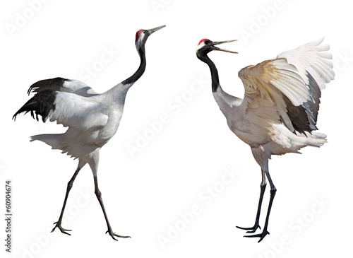 couple dancing japanese cranes - 60904674