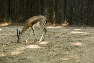 Gazelle in a zoo