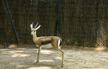 Gazelle in a zoo