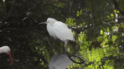 Snowy egret in South Florida